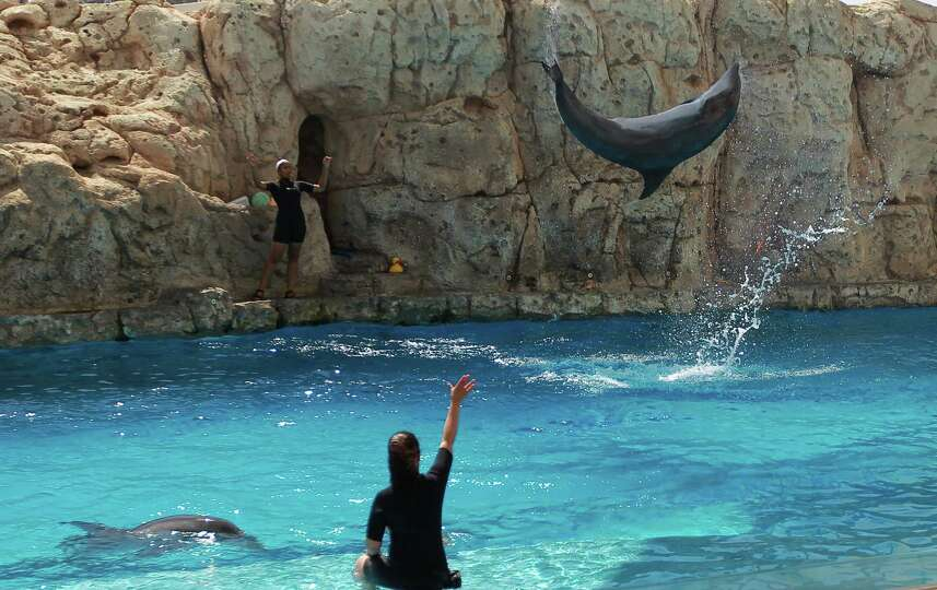 An Atlantic Bottlenosed Dolphin Does A Flip As Trainers