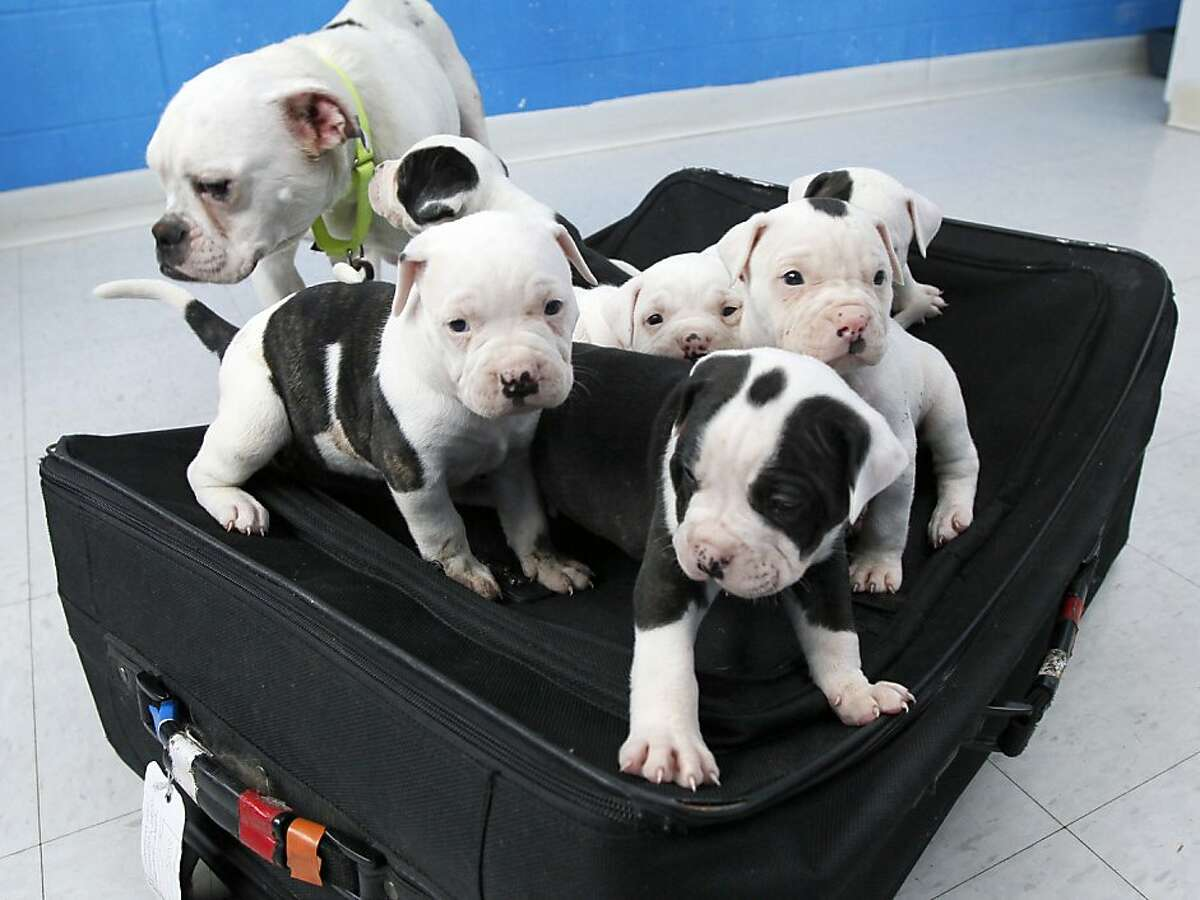 This Tuesday, April 10, 2012, photo shows a litter of six puppies, and their mother, an English bulldog mix, at the Toledo Area Humane Society in Maumee, Ohio. A man tried to abandon the six puppies by zipping them inside a suitcase and leaving it outside an Ohio business near a trash bin with their mother. The man was charged after authorities found he'd left the luggage tag with his contact information attached. (AP Photo/The Blade, Dave Zapotosky) MANDATORY CREDIT; MAGS OUT; NO SALES; TV OUT; SENTINEL-TRIBUNE OUT; MONROE EVENING NEWS OUT; TOLEDO FREE PRESS OUT