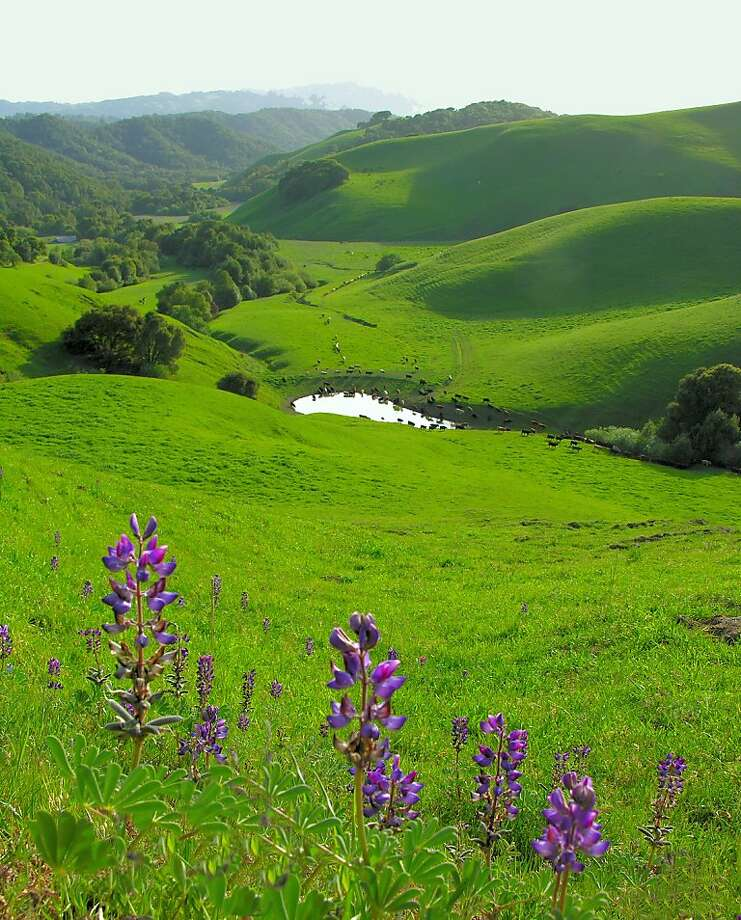 Lupine overlooking Sindicich Lagoon at Briones Regional Park. Photo: Deanne Little