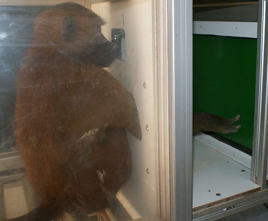 A picture released on April 12, 2012 shows a baboon reaching out to press a touch-sensitive screen in Marseille. The animals could freely enter the booths and complete multiple rounds of the computer-based exercise, in which they saw a four-letter sequence appear and then tapped one of two shapes on the screen to classify the sequence as a word or a non-word. They received a food treat after a correct response. The monkeys in this study learned how to tell the difference between printed sequences of letters that made up actual English words and other, nonsense sequences. These findings challenge the long-held notion that the ability to recognize words in this way -- as combinations of objects that appear visually in certain sequences -- is fundamentally related to language. Photo: J.fagot, AFP/Getty Images