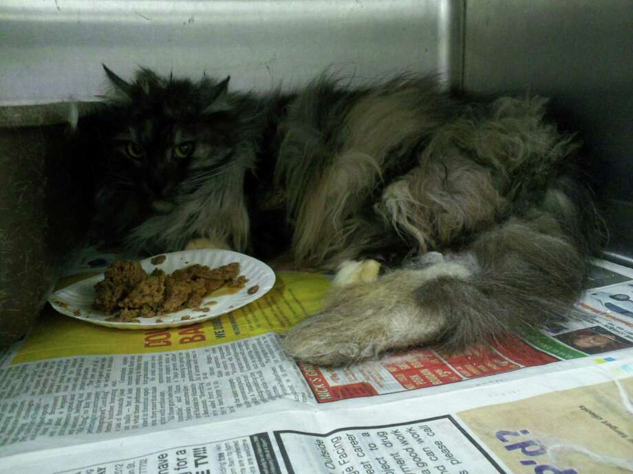 Five cats were found living among 23 dead cats at a foreclosed home last week. They will soon be available for adoption.  Photos provided by Beaumont Animal Services.