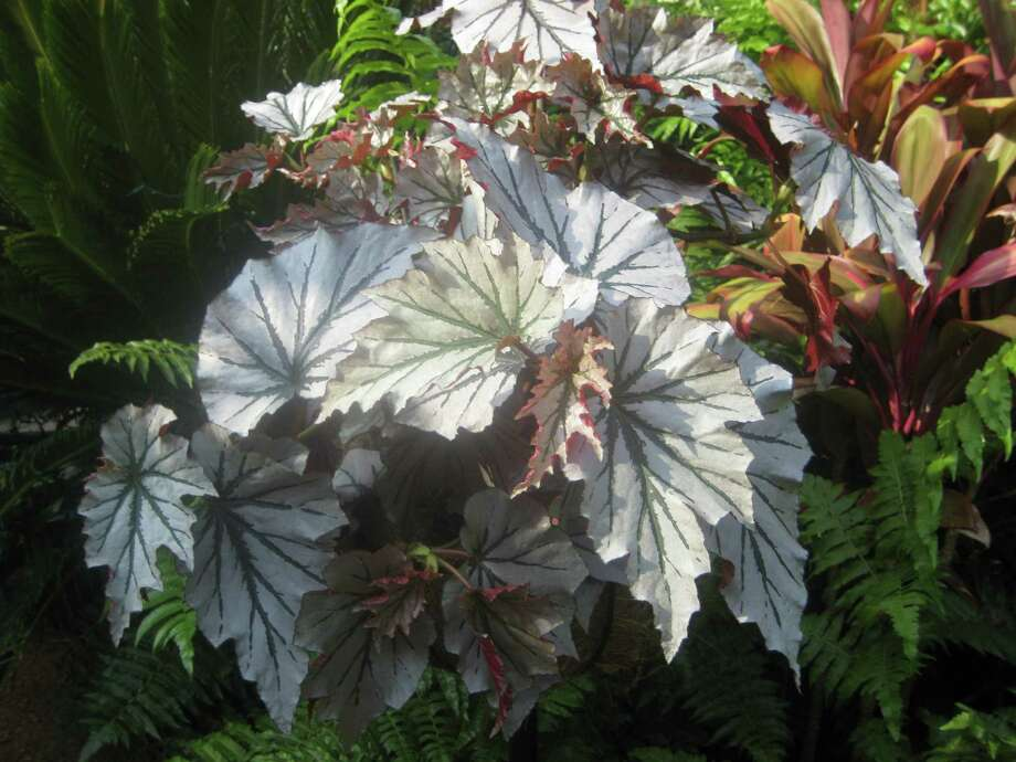 'Looking Glass' is a canelike begonia with silvery foliage marked with dark green. The leaf underside is a rich burgundy. Photo: Kathy Huber