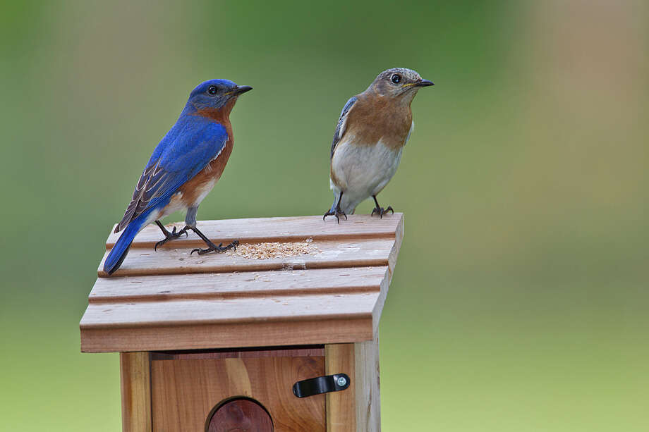 A pair of eastern bluebirds perch on top of their nest box. Eastern bluebirds nest in cavities, including man-made nest boxes, in eastern Texas to the Panhandle. Photo: Kathy Adams Clark / Kathy Adams Clark/KAC Productions