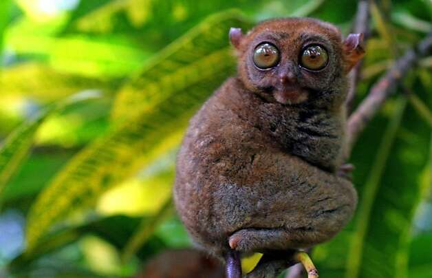 Called the world's smallest monkey, the endangered tarsier - 3 to 6 inches long, not counting the tail, and as many ounces in weight - is often also classified in the same group as the lemur. Photo: Philippines Dept Of Tourism