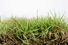 Zoysia grass is drought tolerant and can endure shade. It resists weeds better than some grasses.