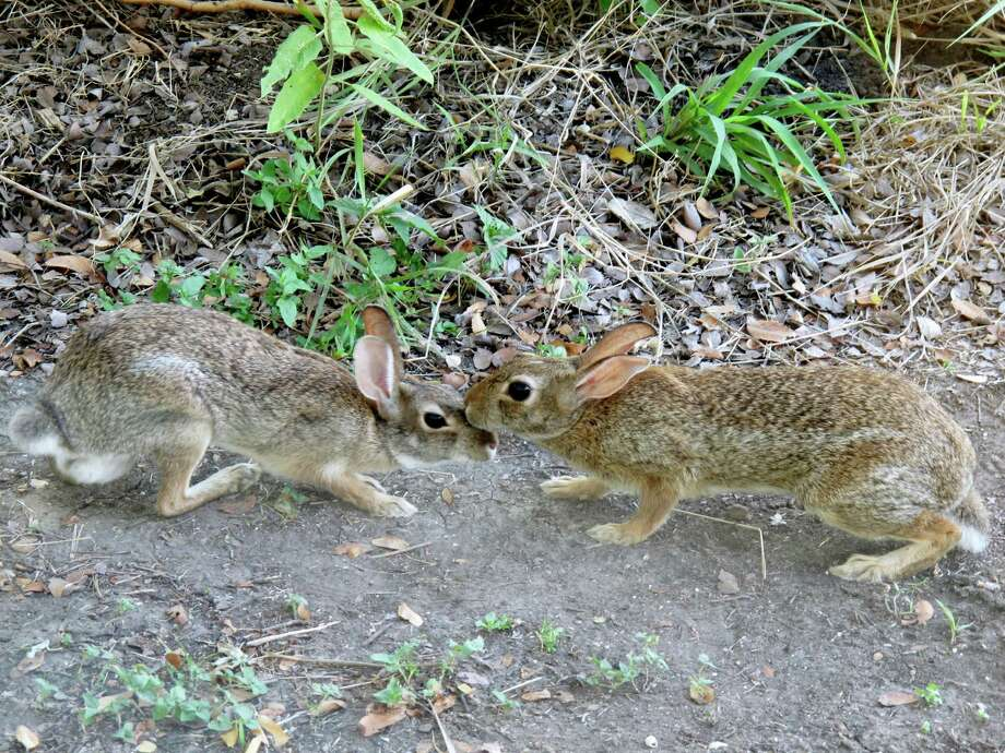 Rabbits on the Mims place prefer life on the edge, including this pair on a trail during last summer's drought.  Photo: FORREST M MIMS III, For The Express-News
