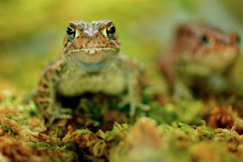 ADVANCE FOR MONDAY APRIL 16 - In this April 4, 2012 photo, the endangered Houston Toads are housed in the Houston Toad Conservation Quarantine Facility where staff are working to recover their population in Houston.(AP Photo/Houston Chronicle,  Mayra Beltran) MAGS OUT; TV OUT;  MANDATORY CREDIT Photo: Mayra Beltran, MBO / © 2012 Houston Chronicle