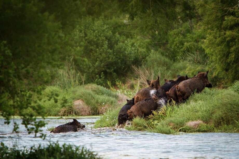 Wild boars cross a pond holding over a 100 alligators at Larry Janik's alligator farm at Janik Alligators. Photo: Michael Paulsen, Houston Chronicle / © 2012 Houston Chronicle
