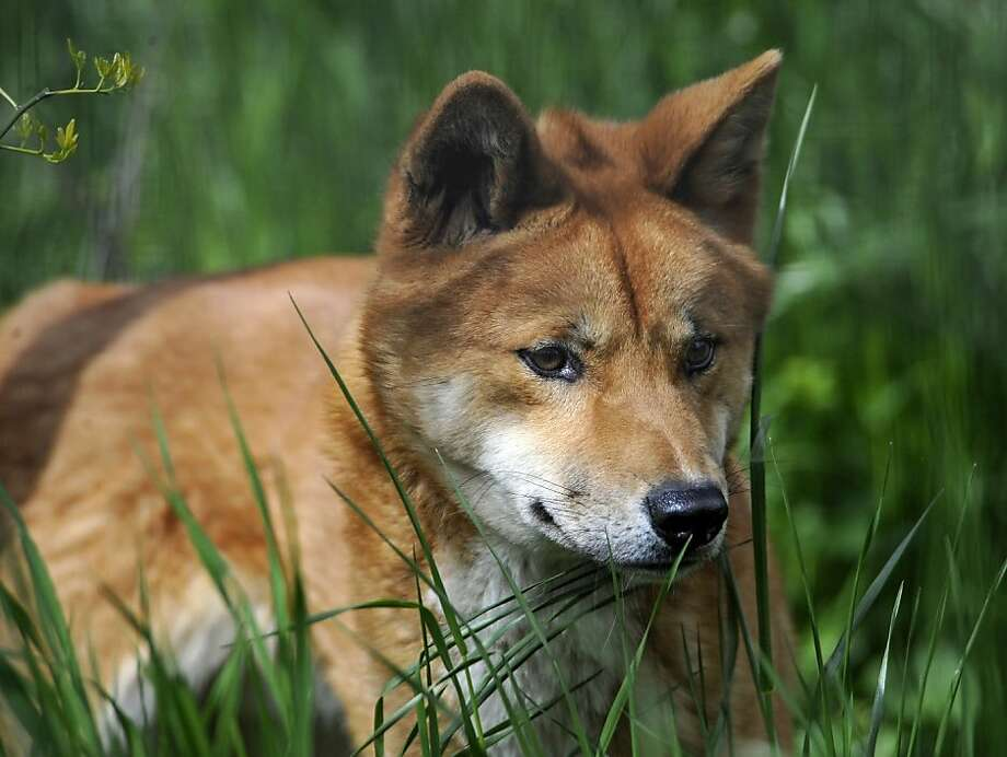 "In this photo provided by the Wildlife Conservation Society, a dingo walks through the grass at the Prospect Park Zoo's ""Australian Walkabout on Discovery Trail,"" Thursday, April 12, 2012 in Brooklyn, New York. Native to the Australian Outback, the dingoes are a new addition to the zoo and according to the Wildlife Conservation Society, are the first dingoes in a New York City zoo in 40 years. (AP Photo/Wildlife Conservation Society, Julie Larsen Maher) Photo: Julie Larsen Maher, Associated Press"