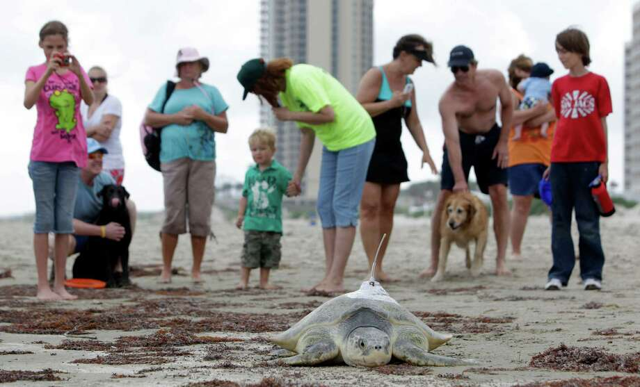 Beach goers watch as a Kemp's ridley sea turtle named Mij makes its way to the ocean after being released on East Beach, Friday, April 13, 2012, in Galveston. The turtle was tagged with satellite tracking device by members of the Trophic Ecology and Sea Turtle Biology Lab at Texas A&M Galveston. Photo: Melissa Phillip, Houston Chronicle / © 2012 Houston Chronicle