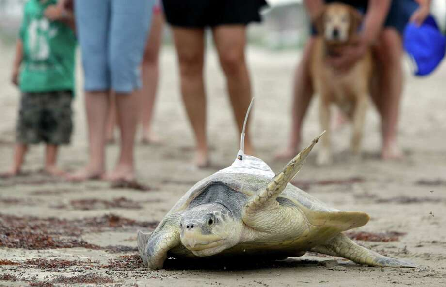Beach goes watch as a Kemp's ridley sea turtle named Mij makes its way to the ocean. The named Mij is the backwards spelling of a resident named Jim who spotted the 70 pound turtle this morning and called the turtle hotline. Photo: Melissa Phillip, Houston Chronicle / © 2012 Houston Chronicle