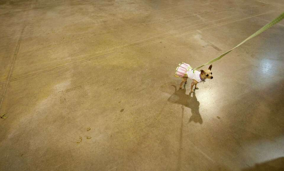 Sage, a tea cup Chihuahua, gets a chance to walk away from hoards of dogs and people as she and her