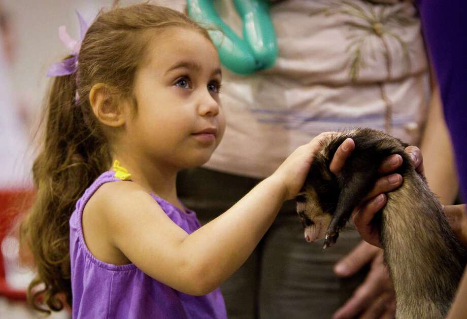 Layla King, 4, of Houston, pets the soft fur of a ferret named rambo as she visits the Houston Area Ferret Association's booth. Photo: Nick De La Torre, Houston Chronicle / © 2012  Houston Chronicle