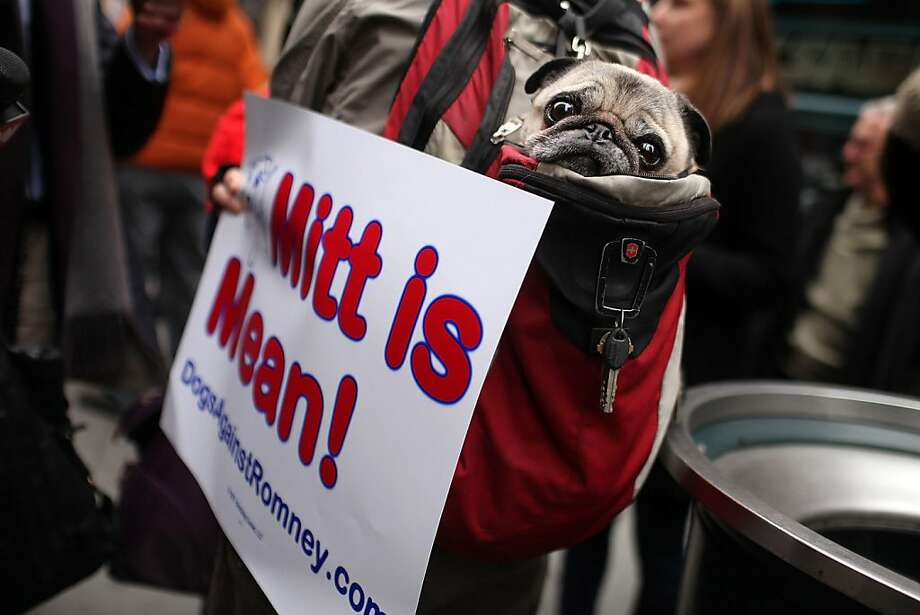 A pug named Sake sits in his owner's backpack during a small protest by a group called Dogs Against Romney outside of the Westminster Kennel Club Dog Show on February 14, 2012 in New York City. The group is incensed that the GOP presidential candidate Mitt Romney once confessed to placing his dog in a crate on top of the family car while driving to a vacation home. Photo: Spencer Platt, Getty Images