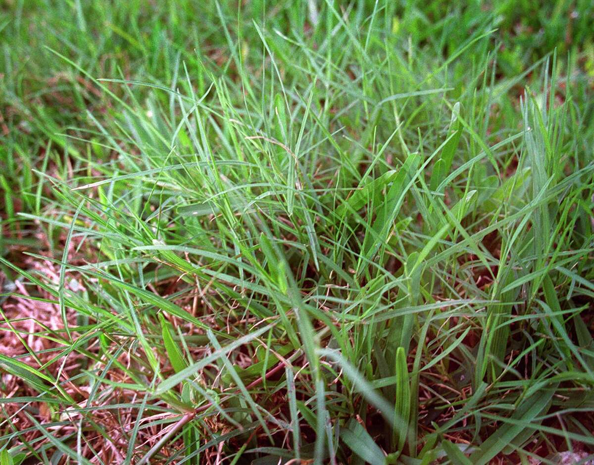 Two of the different types of grasses that grow well in San Antonio include Bermuda, a thin-bladed grass, and St. Augustine, a thick-bladed grass.