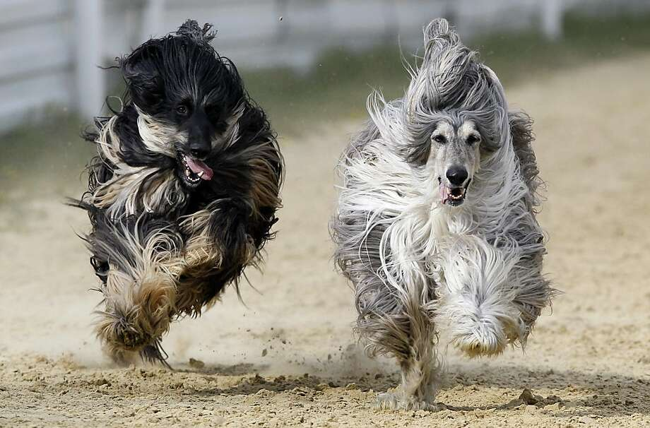 Hey! We both have Donald Trump hairdos! Afghan hounds race neck to neck at a dog track near Brands Hatch in Kent, England. This one could go down to the wire. Photo: Kirsty Wigglesworth, Associated Press