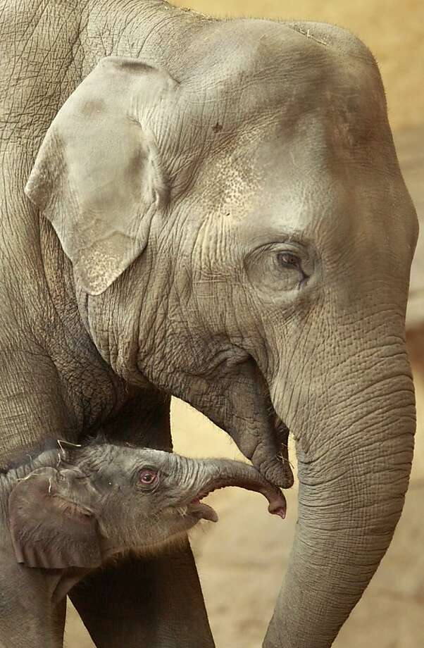 Infant elephant:A 1-day-old baby elephant touches her mother's mouth at the Hagenbeck Zoo in Hamburg, Germany. Photo: Philipp Guelland, Associated Press