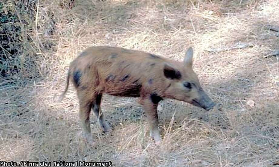 Wild pig from the Pinnacles National Monument. Photo courtesy of Pinnacles National Monument.