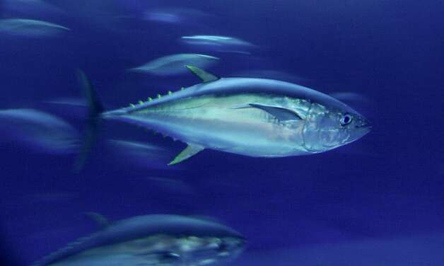 Yellowfin tuna such as this one in the Outer Bay Exhibit at the Monterey Bay Aquarium are just one of the many species of fish that are being tagged electronically. Scientists from all over the world met at the Monterey Bay Aquarium to plot the first Census of Marine Life, a mammoth undertaking involving tagging and satellite tracking the various tuna, sharks, turtles and other pelagic fish. They hope to learn more about these marine creatures which they claim is vital to thefuture health of the oceans and human survival. Photo: Michael Maloney, The Chronicle