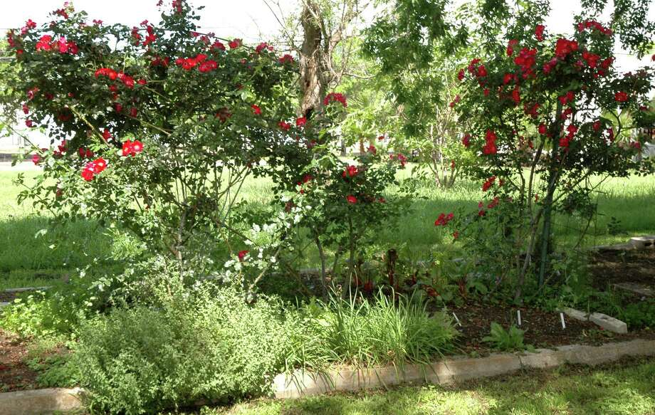 Mandell Park includes this rose garden. Photo: George Wong / Freelance