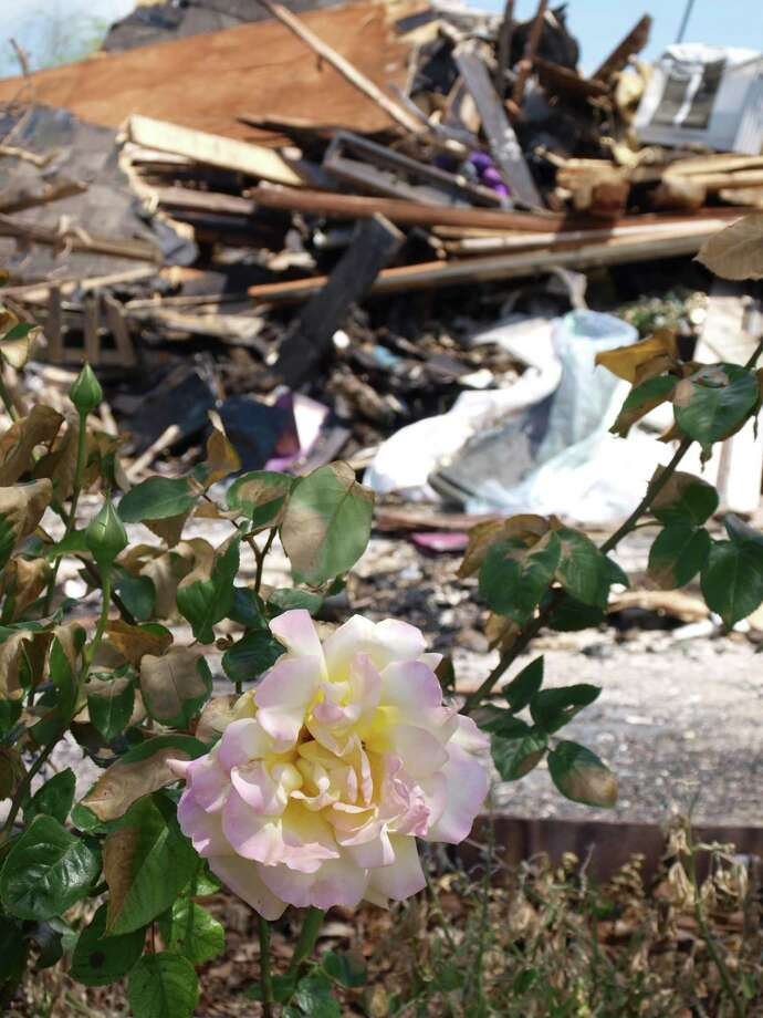 The day after the fire, the Peace rose bush stood in direct contrast to the destruction and rubble beside it.