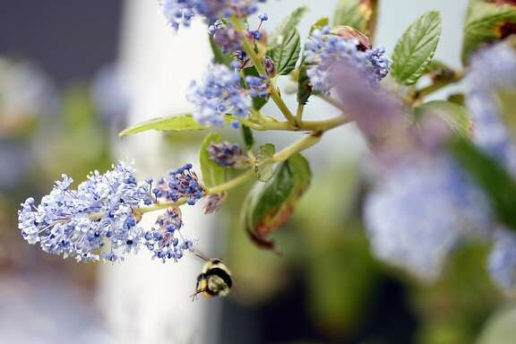 California Lilac attracts bees in Boczanowski's home garden in Livermore, Ca on Tuesday, March 27, 2012