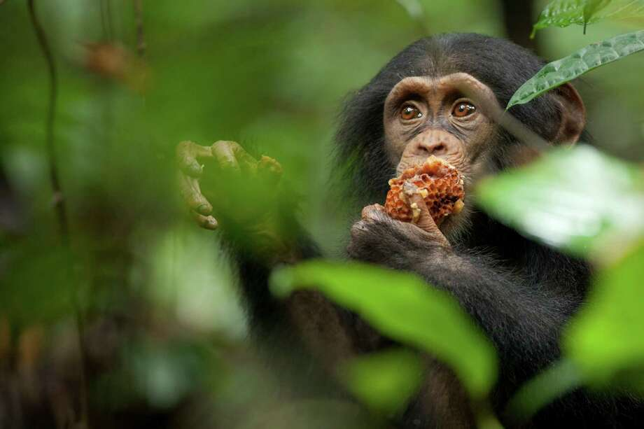 "Oscar the chimpanzee eats a honeycomb in Disney's ""Chimpanzee."" (Martyn Colbeck/Courtesy Disney/MCT) Photo: HANDOUT / MCT"