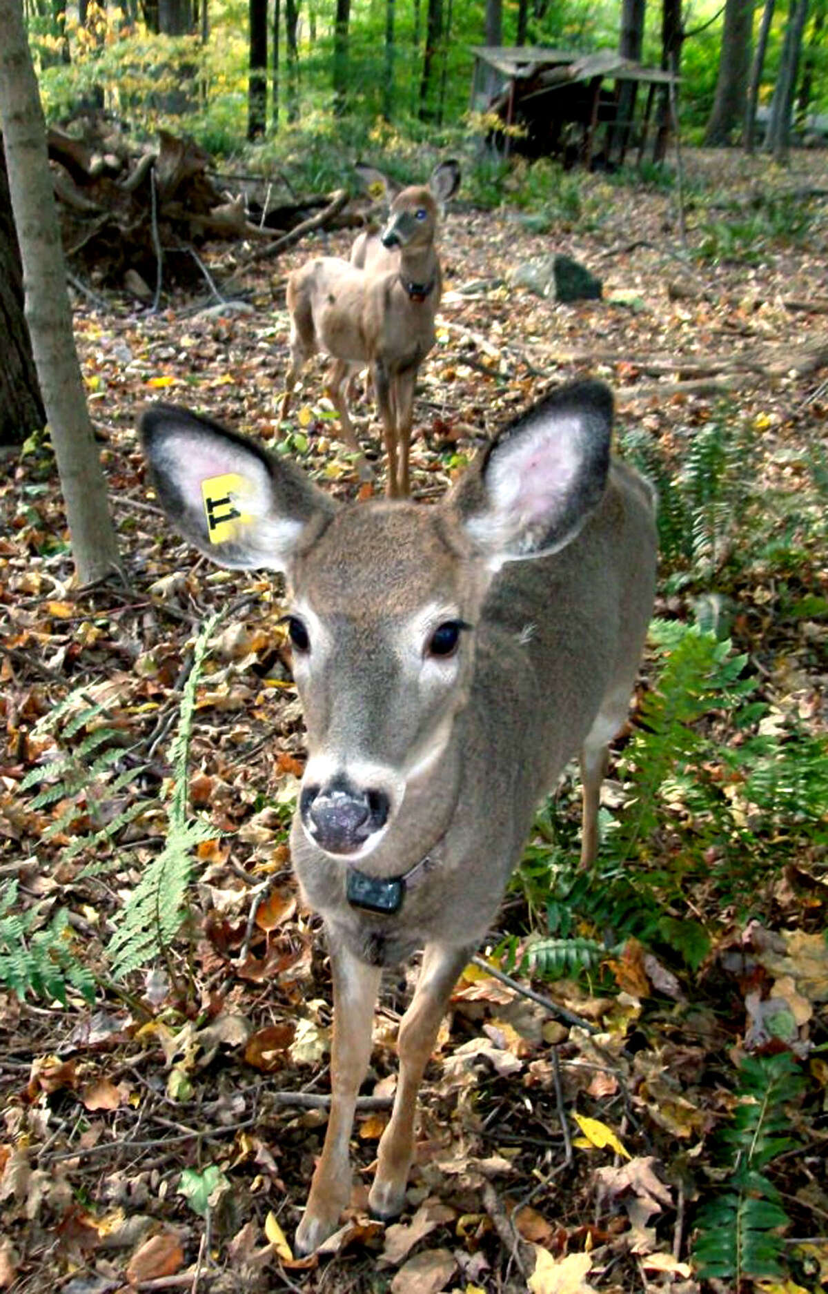 Back to nature SPECTRUM/Wildlife-Line in Sherman rehabilitates and releases orphaned or injured wildlife. Here are some of the deer thriving after rehabilitation and release. Courtesy of Wildlife-Line