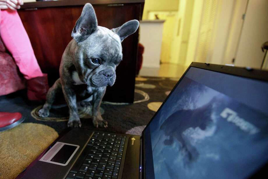 Bleu, a French bulldog owned by Mary Catania,  watches DogTV. Catania says Bleu seems intrigued by the new channel. Photo: Gregory Bull / AP