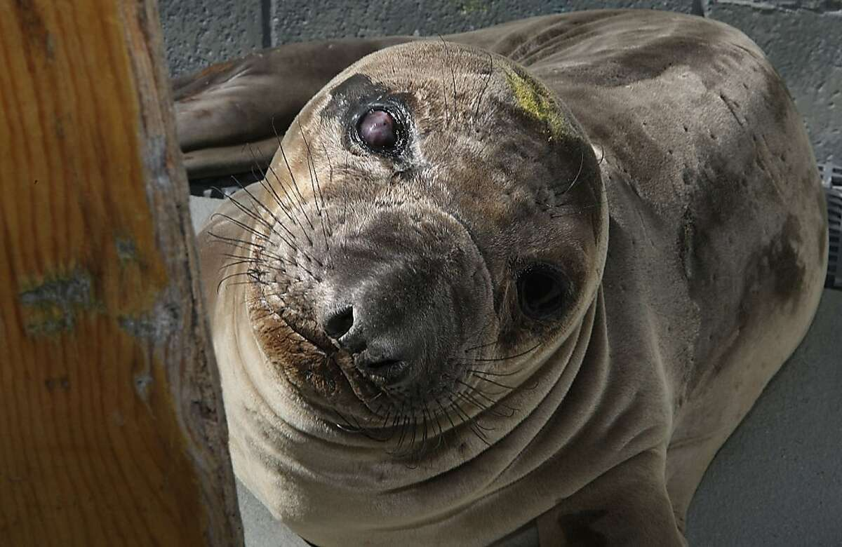 Faith at the Marine Mammal Center at Fort Cronkhite in Sausalito, Calif., has a defect in his spine on Friday, April 6, 2012. Many of the baby elephant seals that turn up at the Center all have the same defect - curvature of the spine.