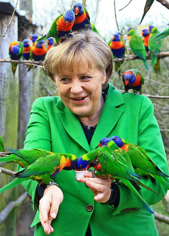 Big bird: Angela Merkel obviously enjoys being swarmed by lories at Vogelpark Marlow Zoo in Germany or else she wouldn't have dressed up like a giant green parrot and plied them with drinks. Photo: Vogelpark Marlow, Associated Press