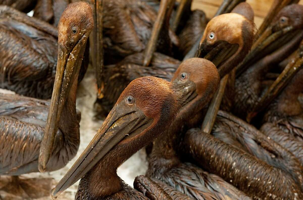 """Oil covered brown pelicans found off the Louisiana coast and affected by the BP Deepwater Horizon oil spill in the Gulf of Mexico wait in a holding pen for cleaning at the Fort Jackson Oiled Wildlife Rehabilitation Center in Buras, Louisiana, in this June 9, 2010 file photo. Oil giant BP said April 18, 2012 it has finalized a $7.8 billion (5.9 billion euro) deal to settle thousands of claims from the 2010 Gulf of Mexico oil spill. The settlement, which must still be approved by a judge, will resolve the """"substantial majority of eligible private economic loss and medical claims stemming from the Deepwater Horizon accident and oil spill,"""" BP said in a statement. It does not affect what is anticipated to be tens of billions of dollars in fines and claims from the US government, coastal states and local governments impacted by the spill."""