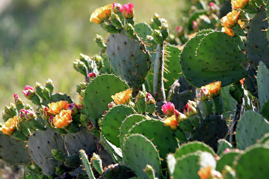 A cactus plants blooms in several colors at the 9th green during the Oak Farms Dairy Pro-Am  at the TPC Oaks Course on  April 18, 2012.  Tom Reel/ San Antonio EXpress-News Photo: TOM REEL, Express-News / San Antonio Express-News