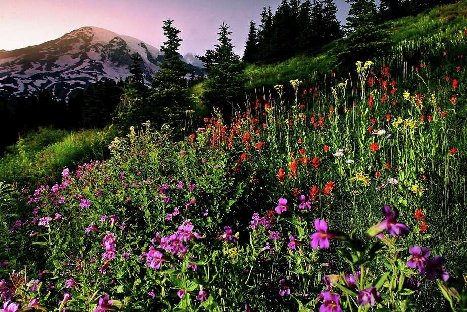 Wildflowers bloom in meadows surrounding the Paradise area at Mount Rainier National Park in Washington state. Photo: DEAN J. KOEPFLER / THE NEWS TRIBUNE