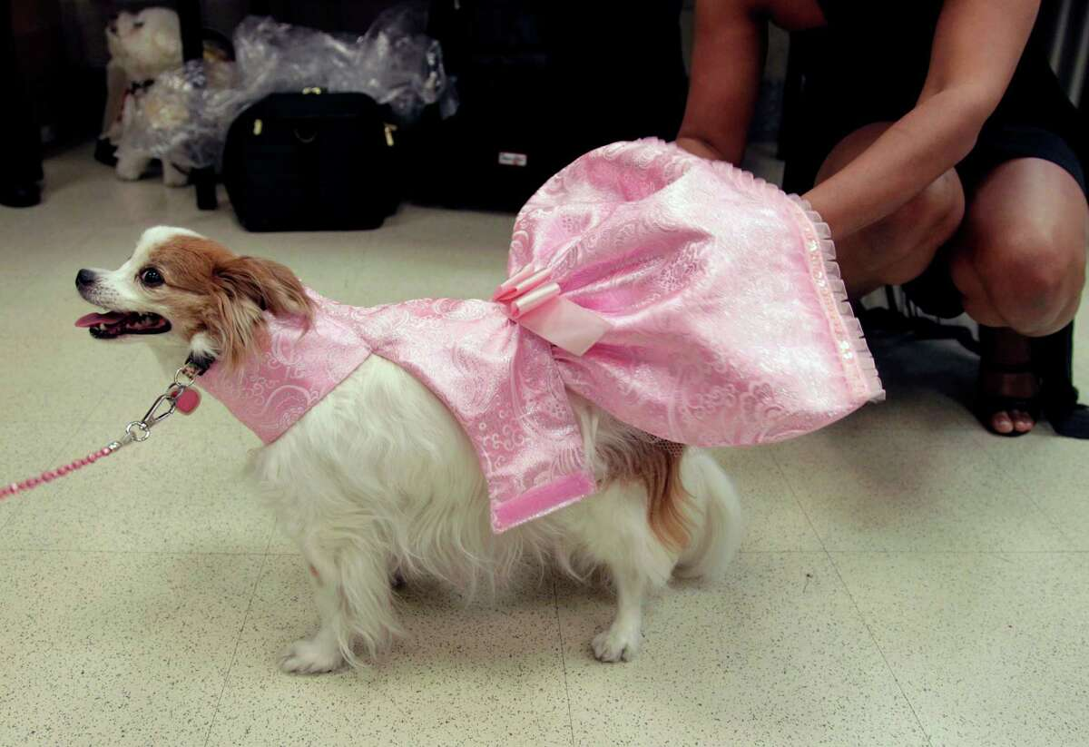 Lily is dressed backstage before the start of a pet fashion show at the Fashion Institute of Technology in New York, Wednesday, April 18, 2012.