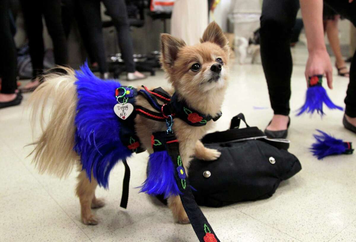 Vivi relaxes backstage before the start of a pet fashion show at the Fashion Institute of Technology in New York, Wednesday, April 18, 2012.