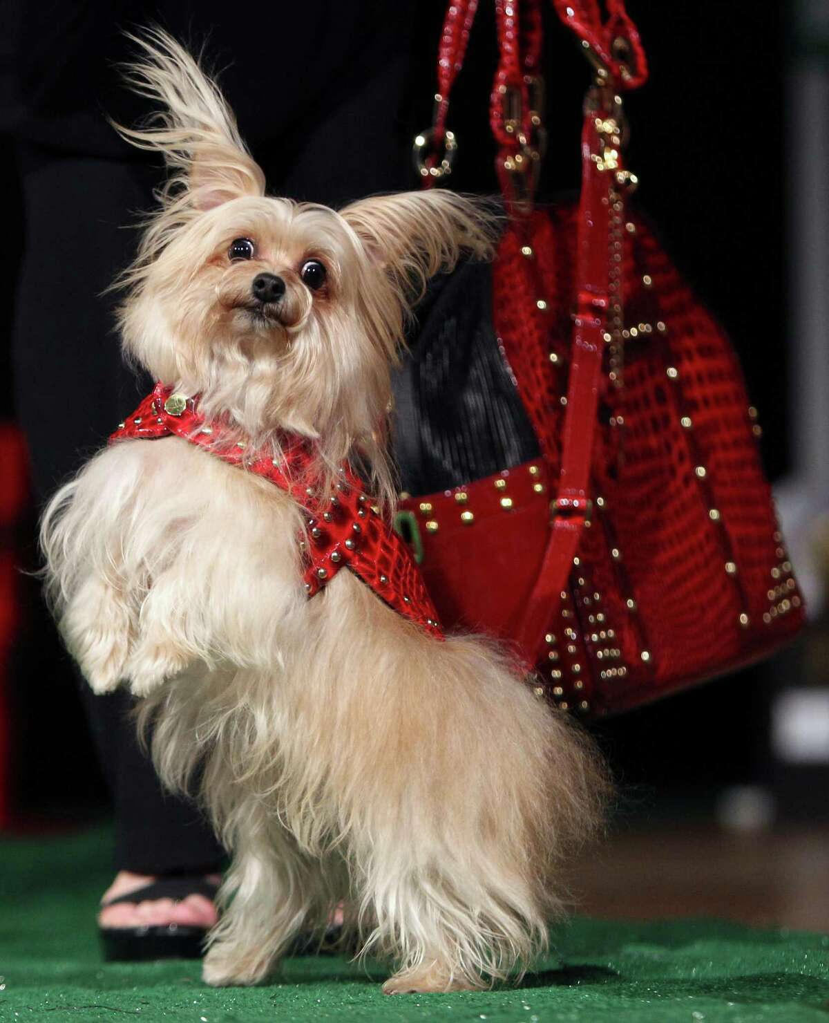 Puccini wears a an outfit that matches a pet carrier during a pet fashion show at the Fashion Institute of Technology in New York, Wednesday, April 18, 2012.