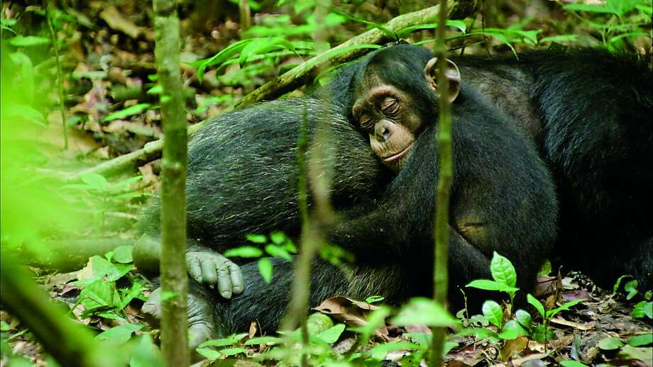 Character: Oscar and Freddy.  Description: Oscar rests in his adopted father's lap. Photo: Disneynature