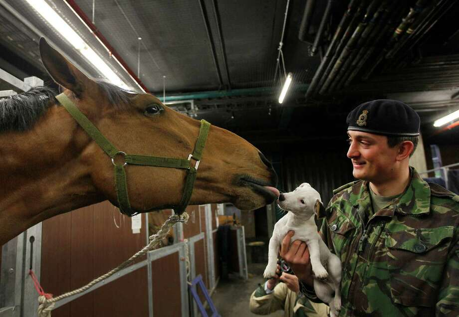 Captain Owen Beynon Brown from the King's Troop Royal Horse Artillery  holds his dog Lord Percy, a resident at the barracks up for Tango his horse to greet, at Wellington Barracks in London, Thursday, April 19, 2012. The King's Troop on Thursday were preparing for an inspection in Hyde Park, in preparation for 2012 ceremonial roles in the Queen's Diamond Jubilee, Trooping the Colour and London 2012 Olympics. Photo: Kirsty Wigglesworth, Associated Press / AP
