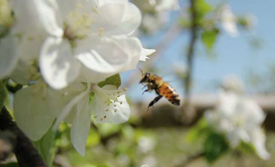 A bee pollenates an apple blossom as some of the apple trees are in bloom at Goold Orchards seen here on Thursday, April 19, 2012 in Castleton, NY.  Each flower blossom will turn into an apple.  The orchard, which is in its 102nd year, has 17,000 apple trees, with 16 varieties of apples.  Karen Gardy, the director of marketing for the orchard and the winery, said that the trees are blooming about three weeks early due to the warm weather.  Gardy said that all the apple orchards are now hoping really hard that there are no hard frosts coming because that would kill the blooms.  This Saturday, April 21st, the Brookview Station Winery at Goold Orchards will be the first stop on the Pasta and Sauced, a Hudson-Berkshire Beverage Trail wine tasting passport event that pairs wines with food samples.  The winery has 12 different wines they produce and a new dark cherry port wine called Porter's Port. (Paul Buckowski / Times Union) Photo: Paul Buckowski, Albany Times Union / 00017269A