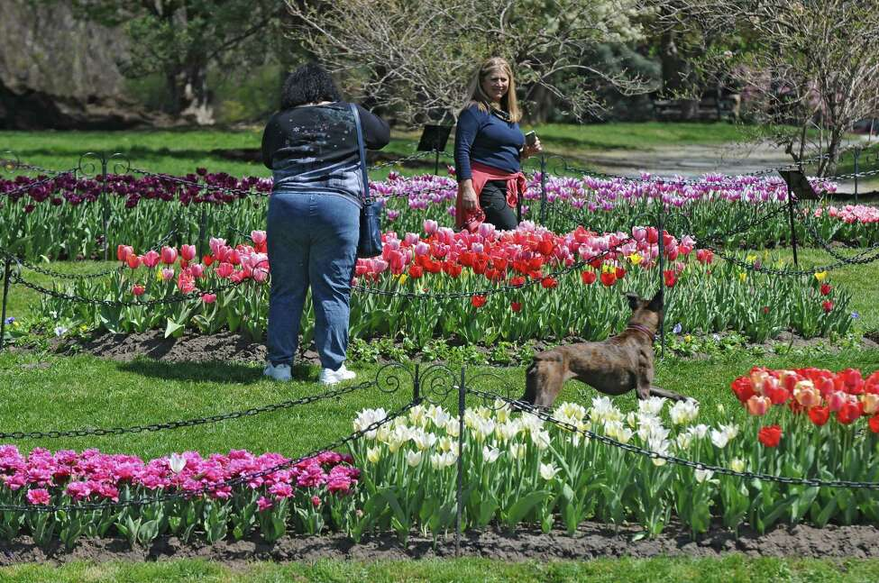 Visitors to Washington Park inspect the tulip beds, on Thursday April 19, 2012 in Albany, NY. (Philip Kamrass / Times Union )