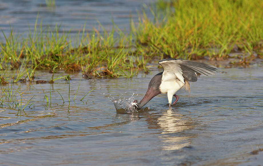 """The camera's """"drive"""" or """"release mode"""" allows it to take several frames per second. Birds, such as this tricolored heron, move fast when capturing prey and a rapid burst of shots is more likely to capture the action. Photo: Kathy Adams Clark / Kathy Adams Clark/KAC Productions"""