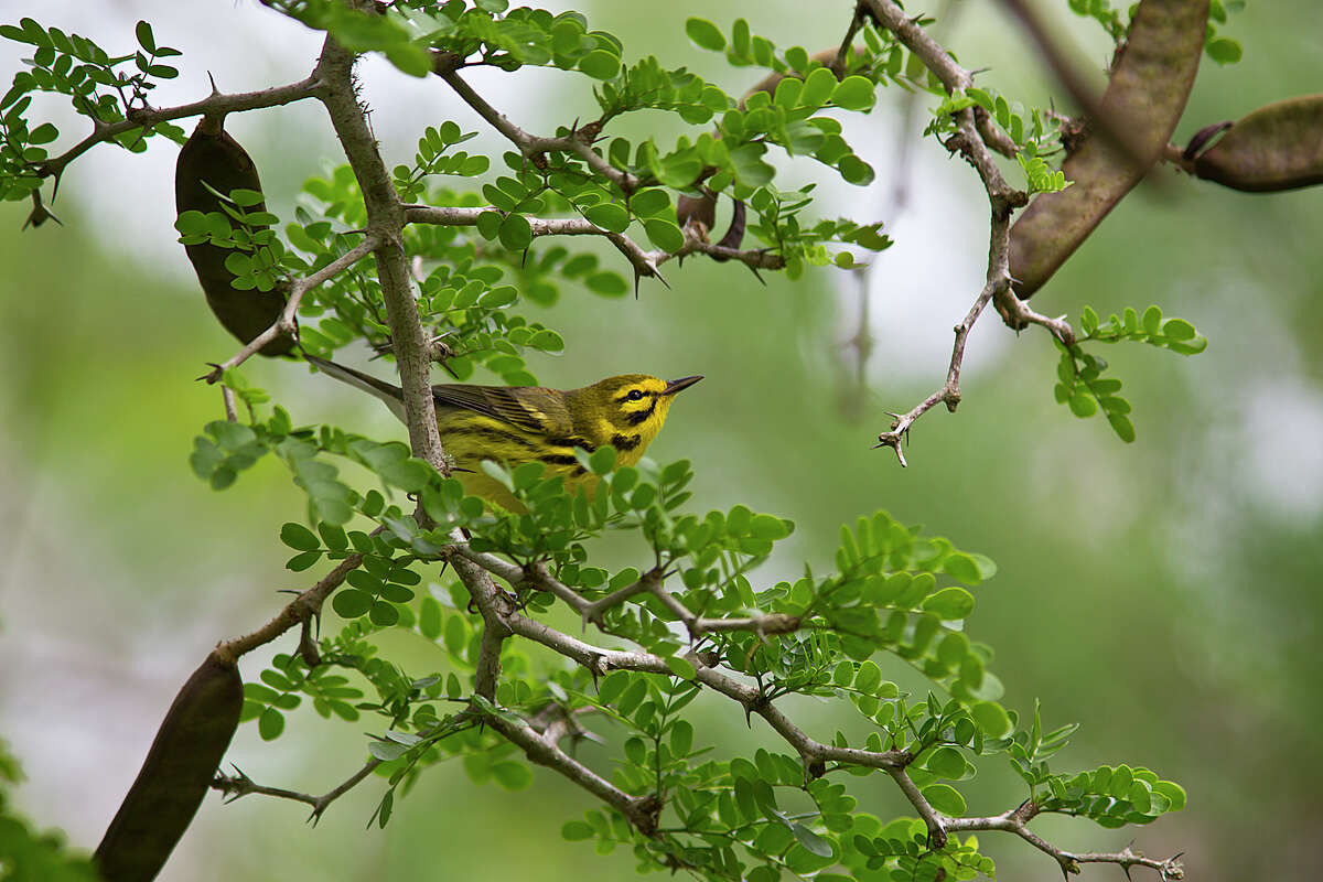 Prairie warblers move fast through a tangle of brush so activating only one focus point on a camera gives the photographer an advantage. Flash used in the TTL, or through-the-lens, mode adds light to the bird without over exposing the scene. Photo Credit: Kathy Adams Clark. Restricted use.