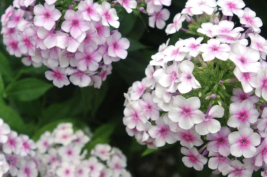 Fanick's phlox has a fragrance similar to that of lilacs. Photo: HELEN L. MONTOYA, San Antonio Express-News / SAN ANTONIO EXPRESS-NEWS