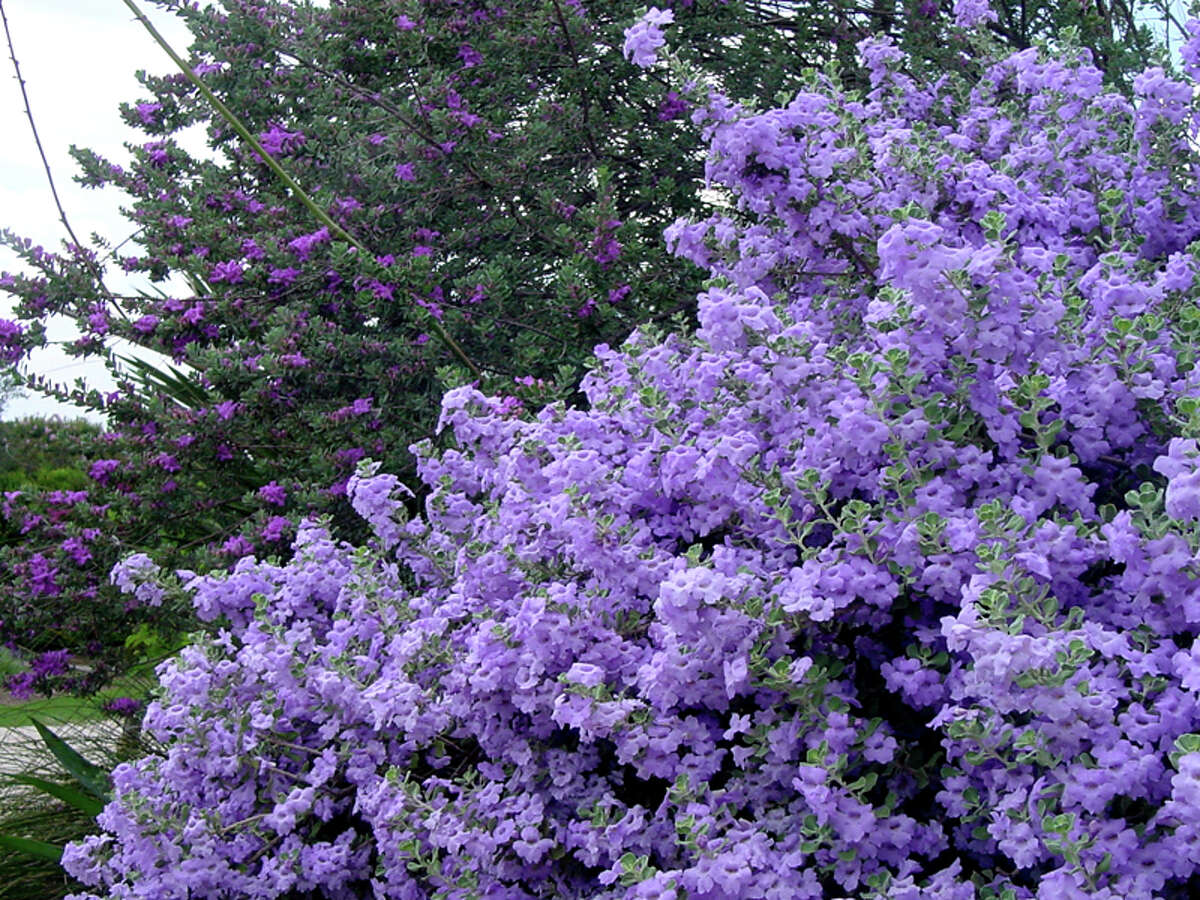 'Lowrey's Legacy' cenizo is among the newest Texas Superstar plants.