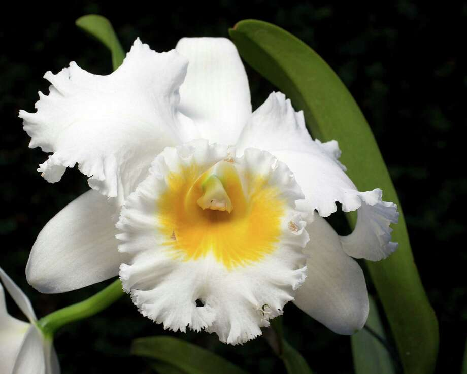 Highly popular cattleyas are known as corsage orchids. Photo: James Nielsen, Houston Chronicle / © 2012 Houston Chronicle