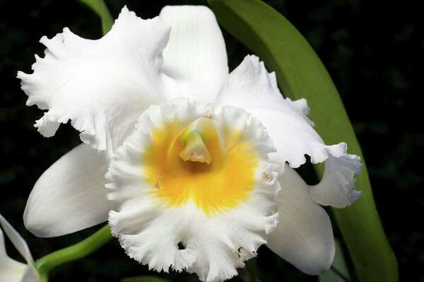 Highly popular cattleyas are known as corsage orchids.