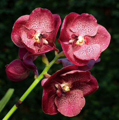 Vanda orchids have rounded flowers in assorted colors. Photo: James Nielsen, Houston Chronicle / © 2012 Houston Chronicle