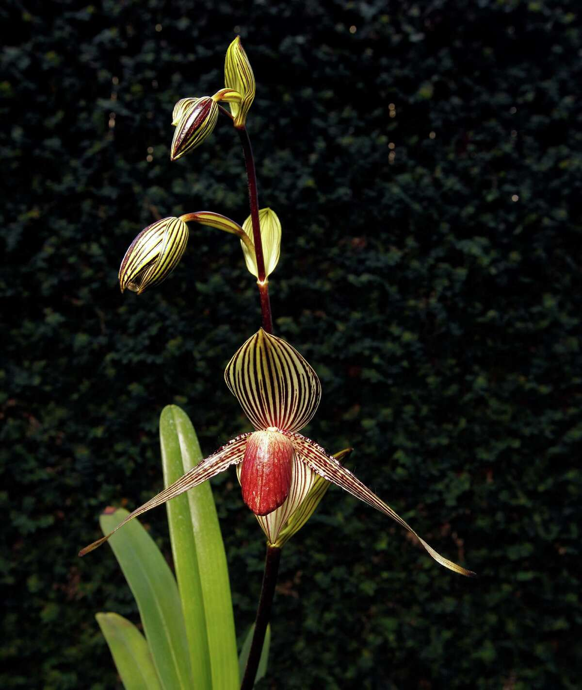 The lady's slipper orchids lure insects to their pouch for pollination purposes.