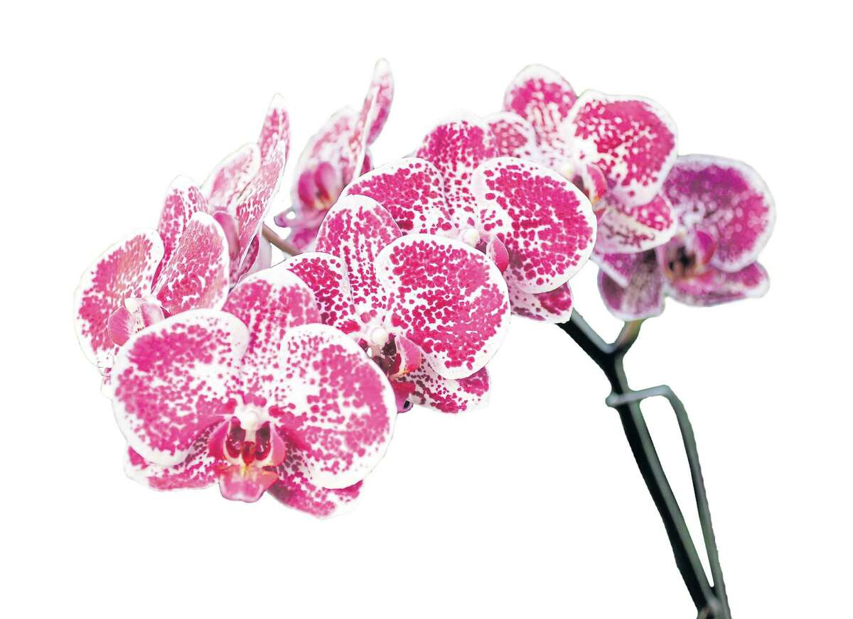 A Moth orchid